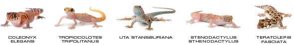 Reptiles aptos para Kit Terrario Desértico Pequeño ExoTerra