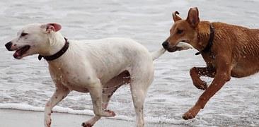 Dos perros corren felices por la playa