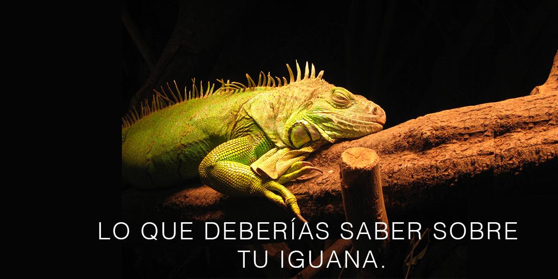 Cómo cuidar tu iguana