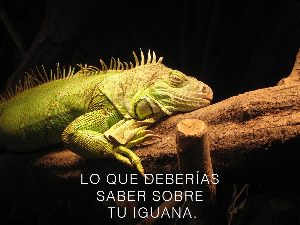 Lo que deberías saber sobre tu iguana