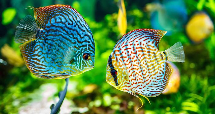 enfermedades peces agua dulce