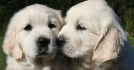Cachorros de perro labrado retriever