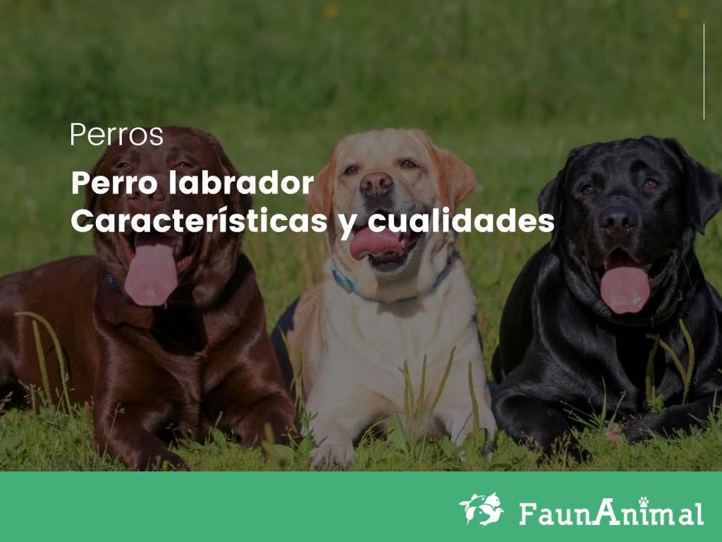 Perro labrador: Características y cualidades