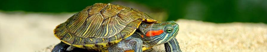 Tortugas de agua, reptil doméstico ideal para novatos