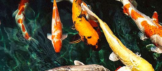 mi pez no come y se queda en el fondo